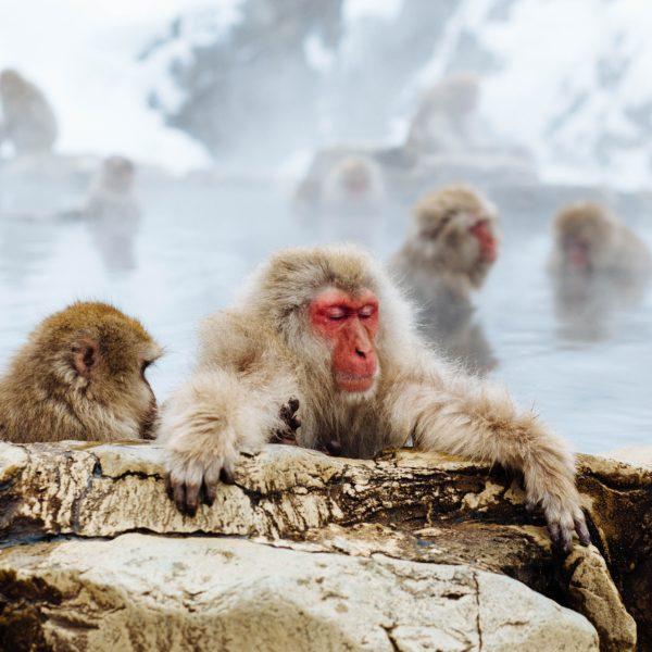 Monkey bathing in outdoor onsen