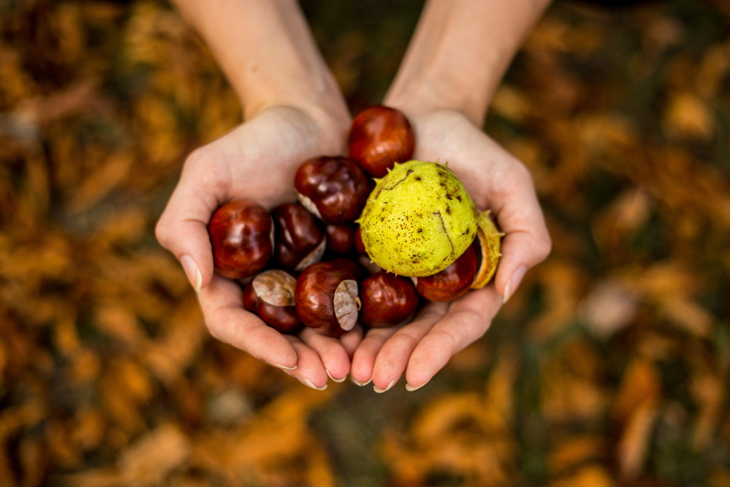 Chestnuts against a backdrop of autumn leaves