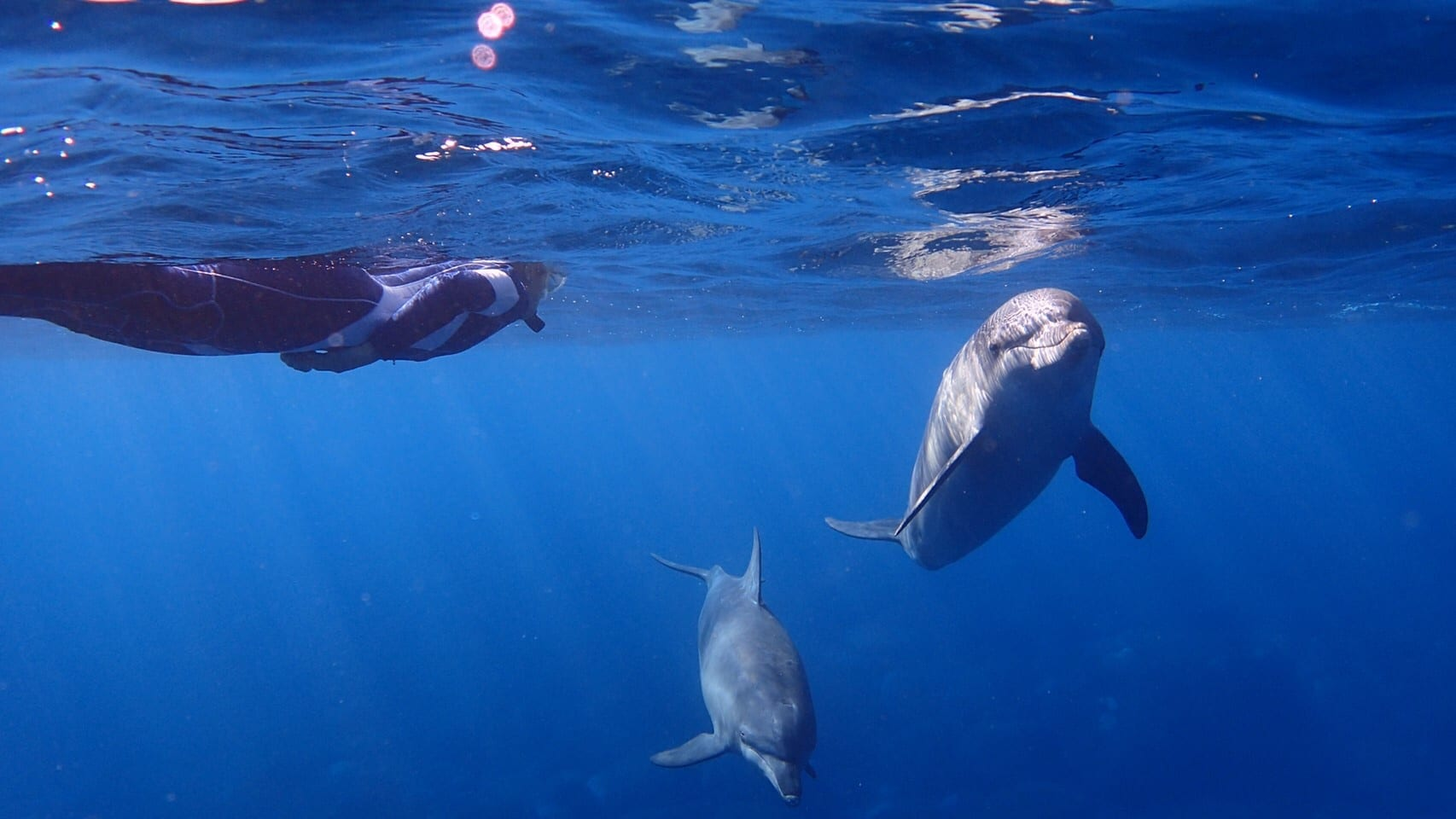 Dolphins and snorkler in the ocean.