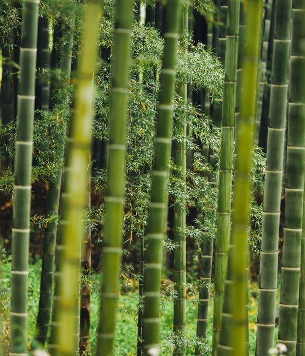 Bamboo tree trunks.
