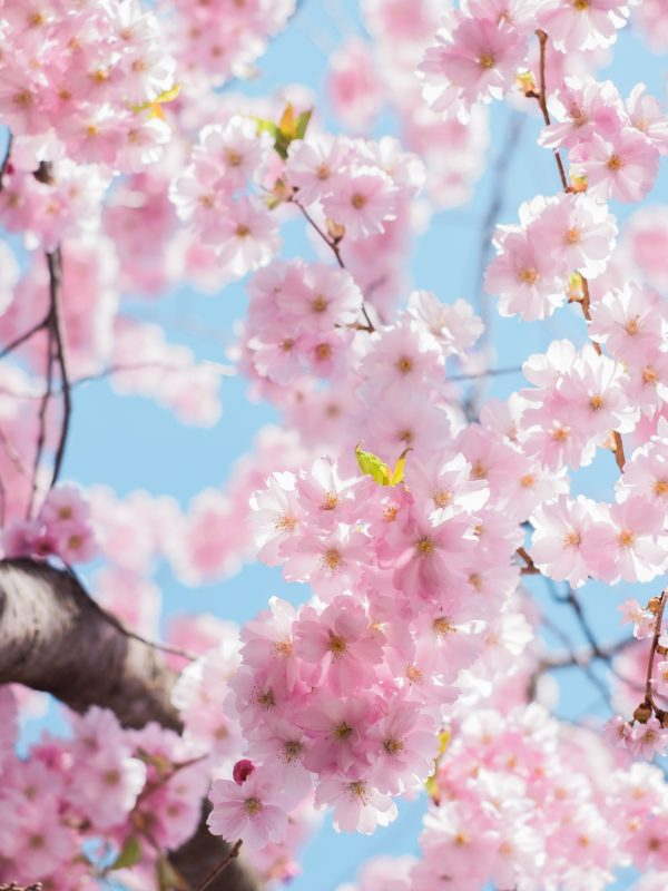Light pink cherry blossoms or sakura blossoms.