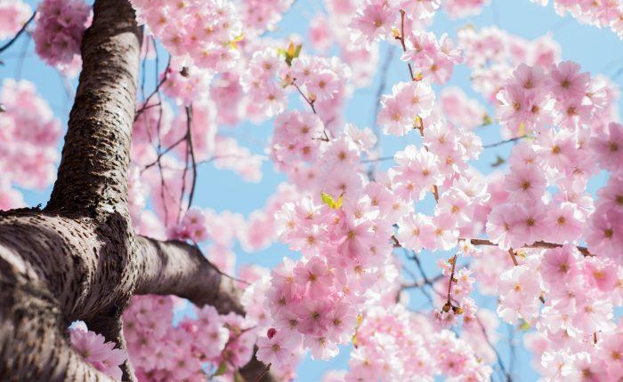 Light pink cherry blossoms or sakura blossoms.
