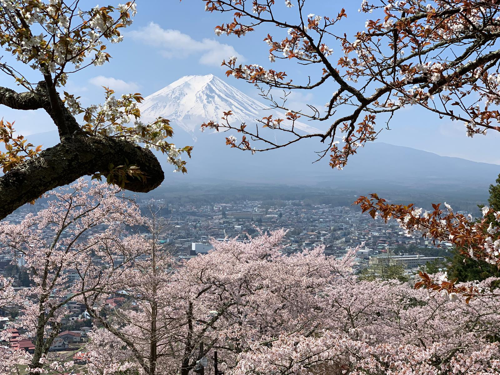 View of snow-covered Mt Fuji and cherry plum blossoms.