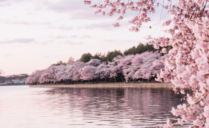 Pink cherry blossom trees by the water.