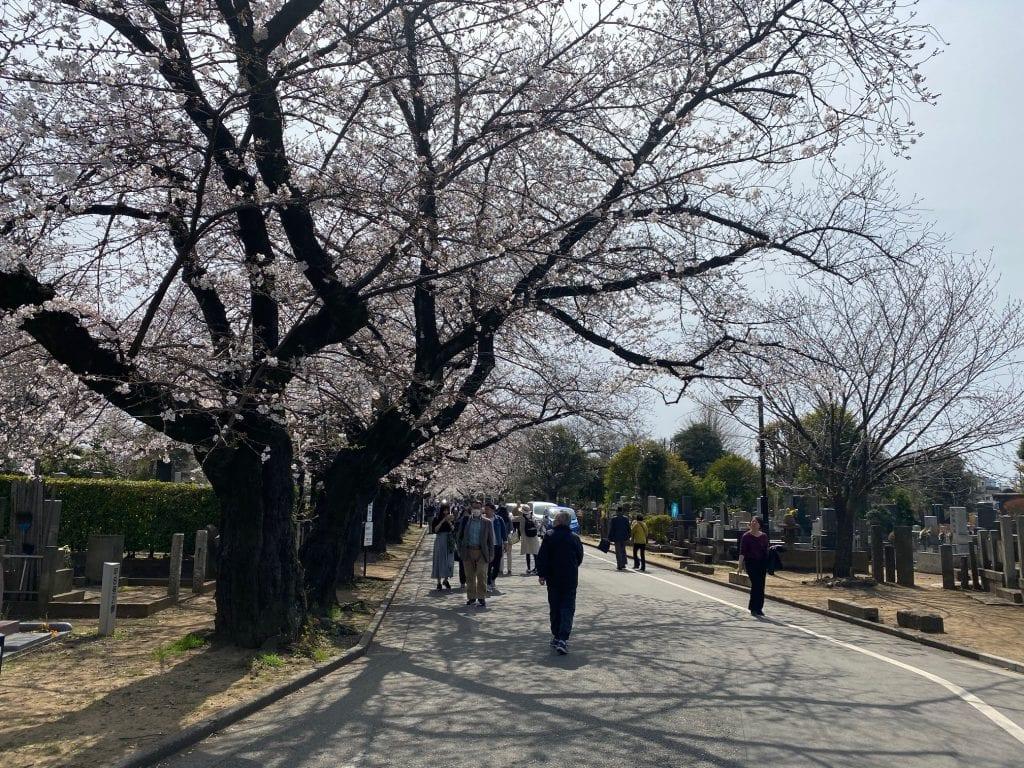 Cherry blossom tunnel, Tokyo